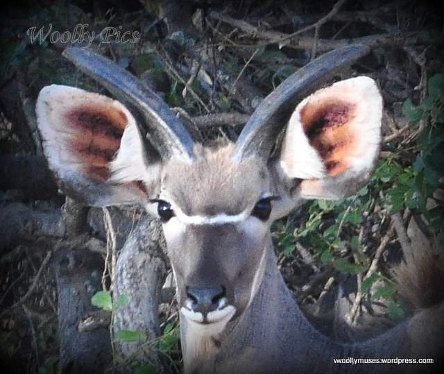 kudu_0053