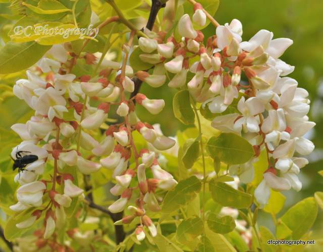 golden-robinia_0494