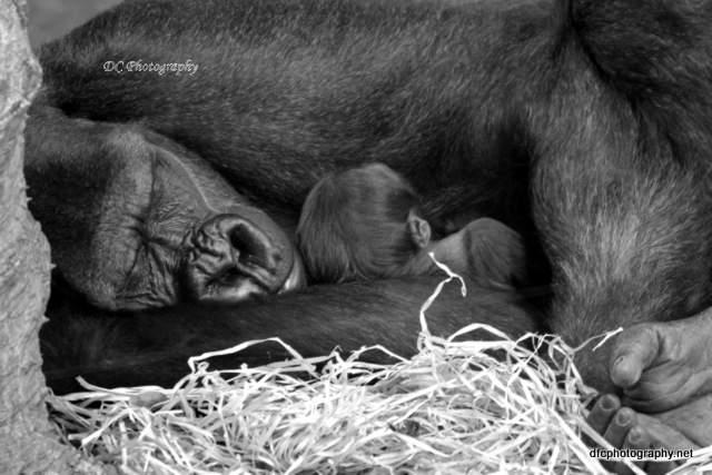 gorilla-bub_5693