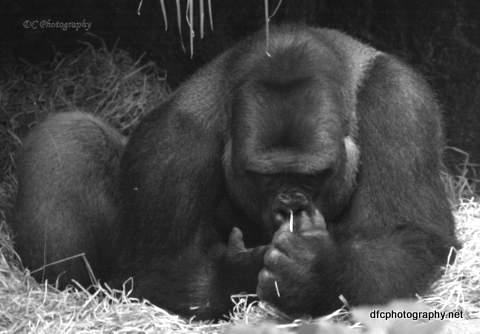 gorilla-dad_5720