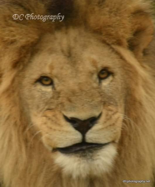 lion_5579