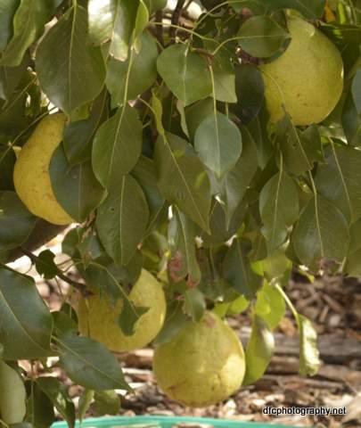 pears_5528