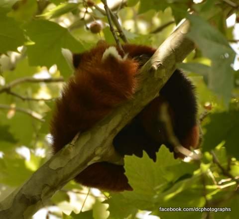 red-panda_5340