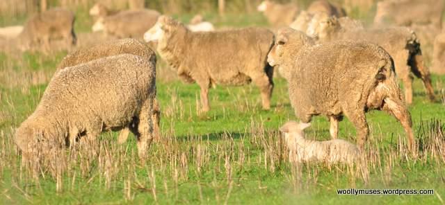 sheep_0046