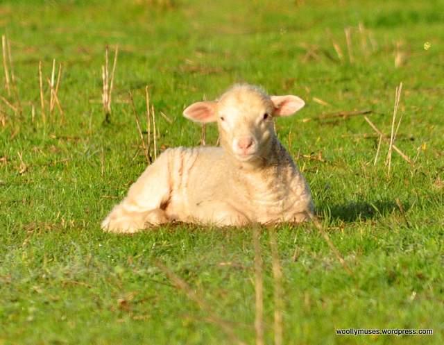 sheep_0049
