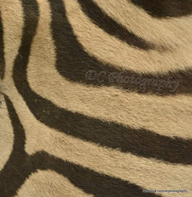 zebra_464