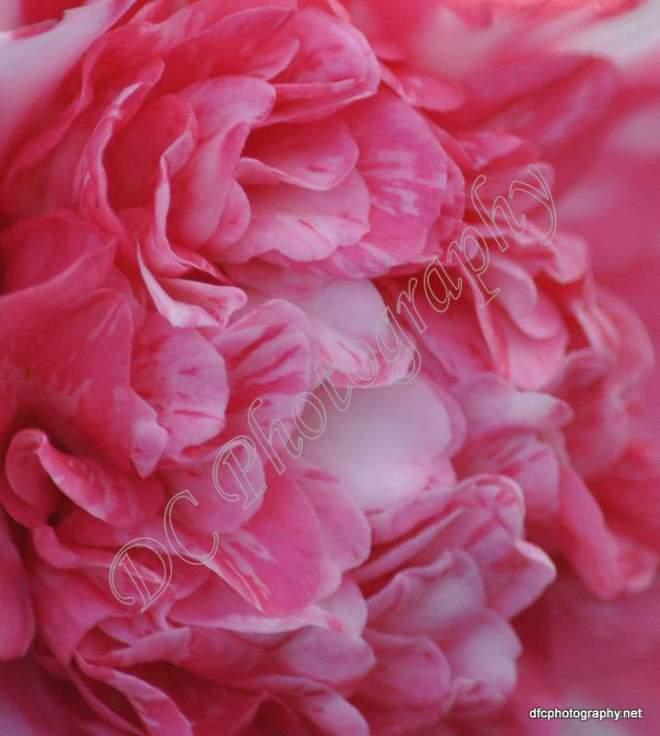 camellia_012