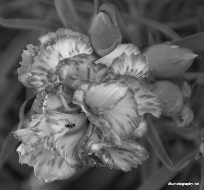 carnation_6067