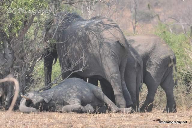 elephants_0453