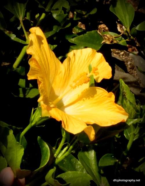 hibiscus_6026