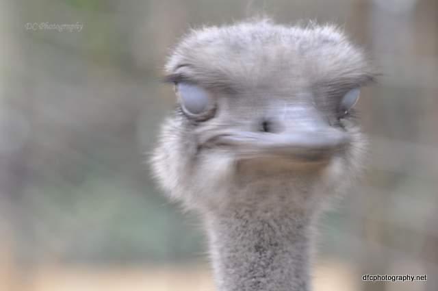 ostrich_427