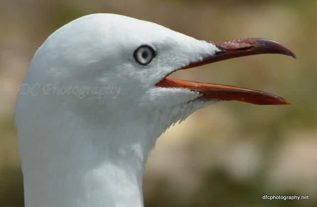 seagull_2863