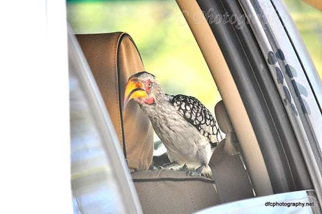 yellow-hornbill_0180