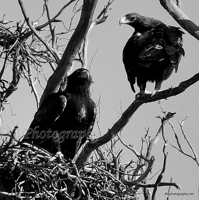 eagle_0005