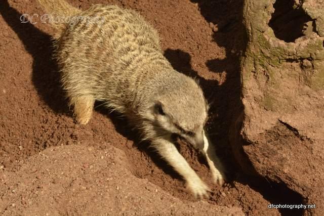 meerkat_5316
