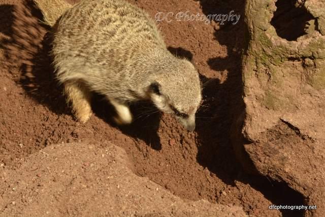 meerkat_5317