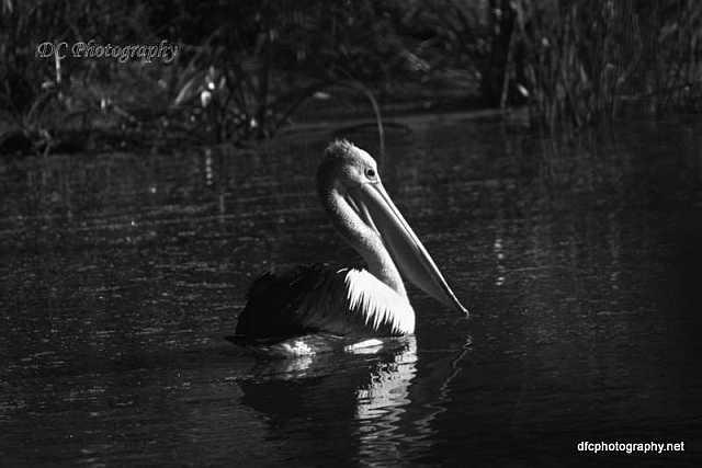 pelican_6174