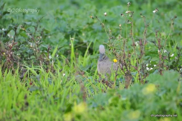 pigeon_0098