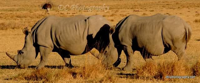 rhinoceros_N1581