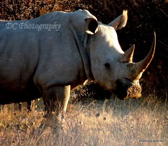 rhinoceros_N1590