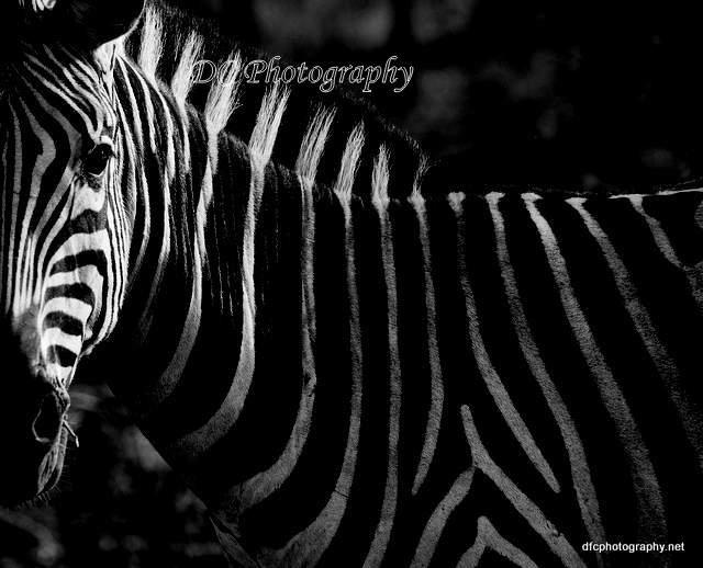 26-Zebra_0037
