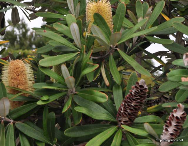 banksia_0064