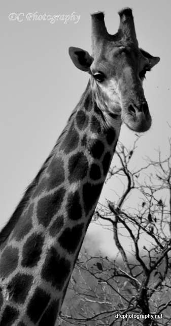 giraffe_0090