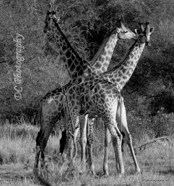 giraffe_0344