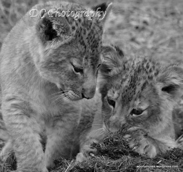 lion-cubs_0722