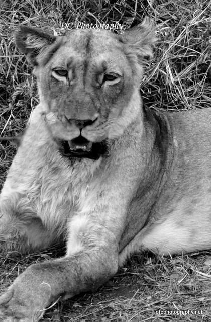 lion_0494ab