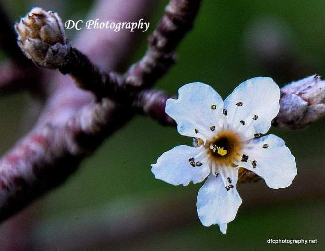 manchurian-pear_0411a