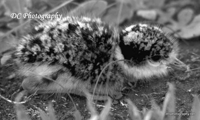 plover-chick_0350