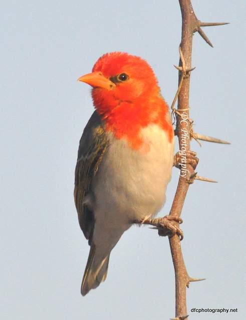 red-weaver_0325