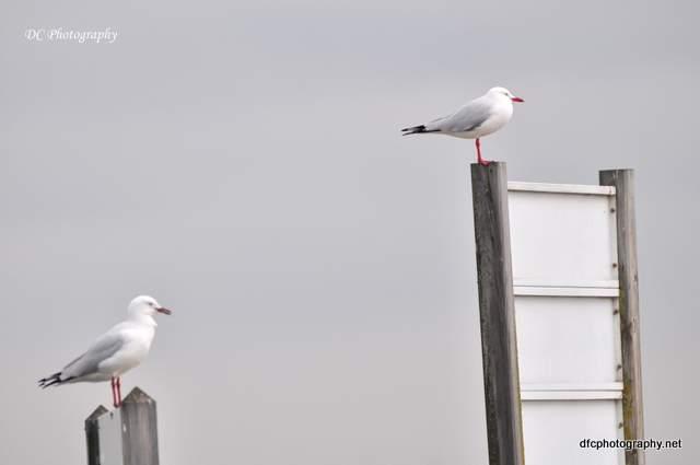 seagull_0026