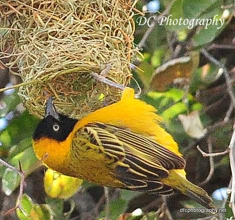 yellow-weaver_0177a