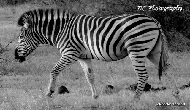 zebra_N1617