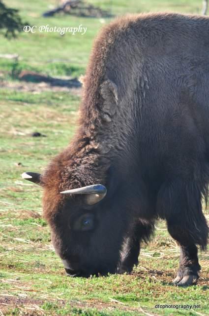 bison_0085