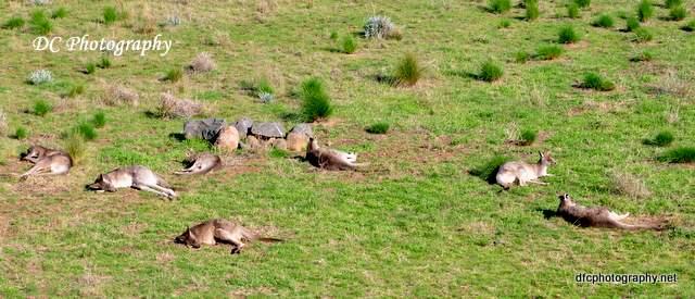 kangaroo_0191