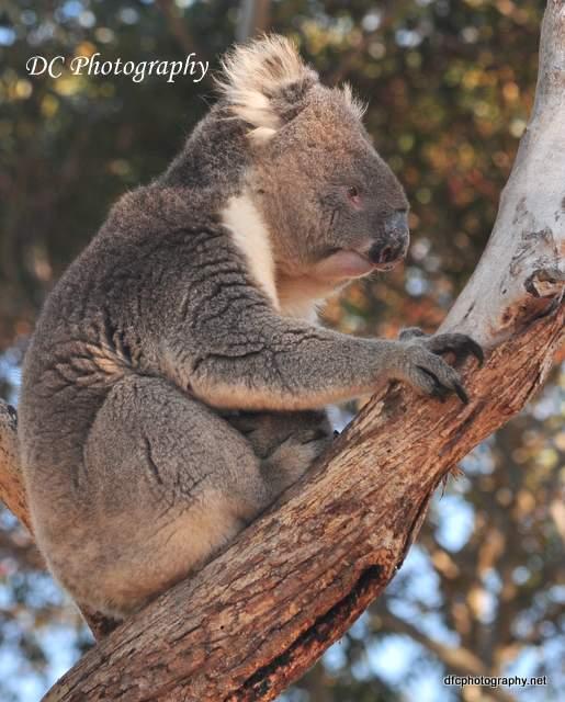 koala_0196