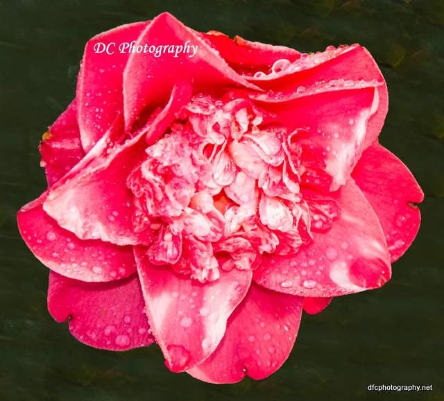 camellia_7259