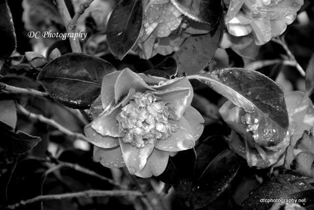 camellia_7260
