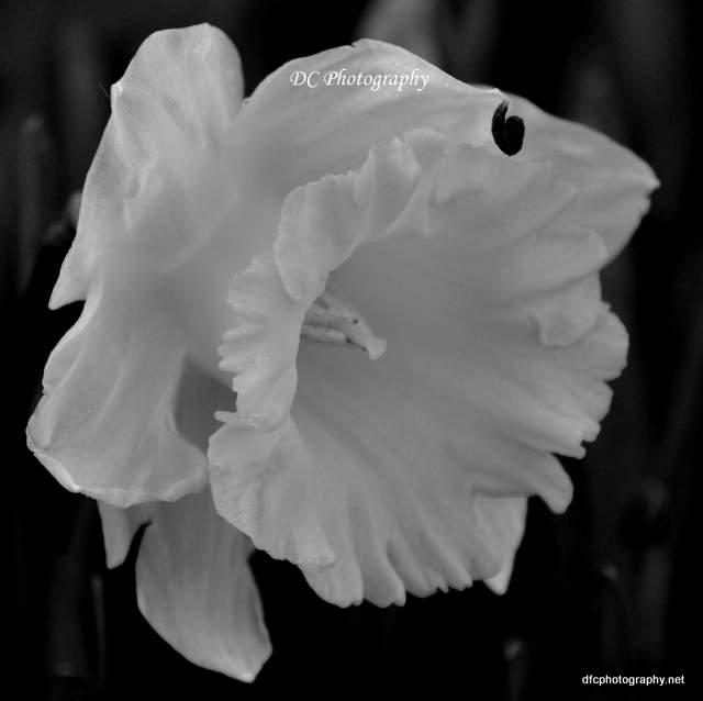 daffodil_7210