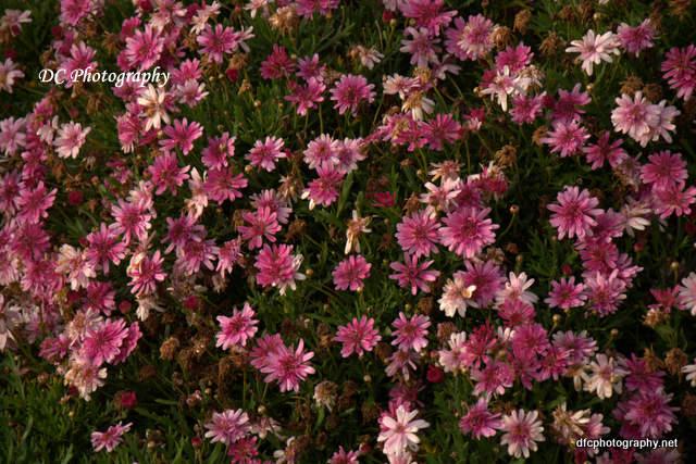daisies_7273
