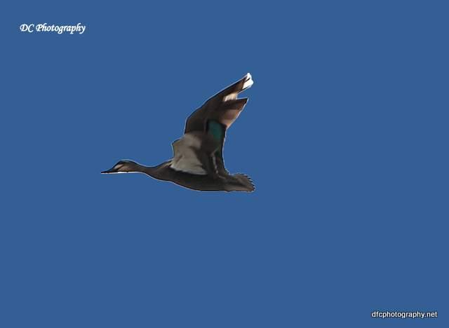 ducks_0003