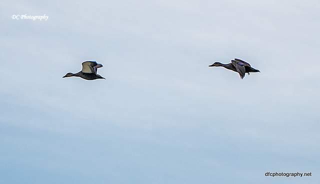 ducks_0010