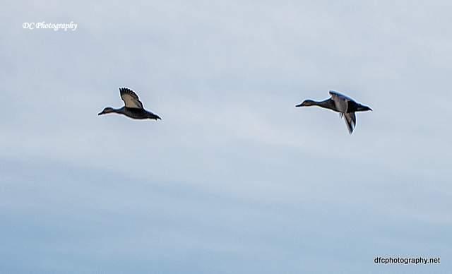 ducks_0011