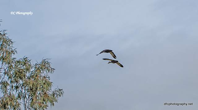 ducks_0013