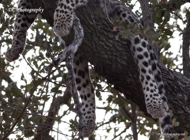 leopard_0729