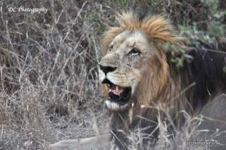 lion-kruger_0952