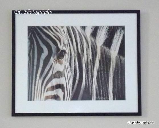 zebra_mr